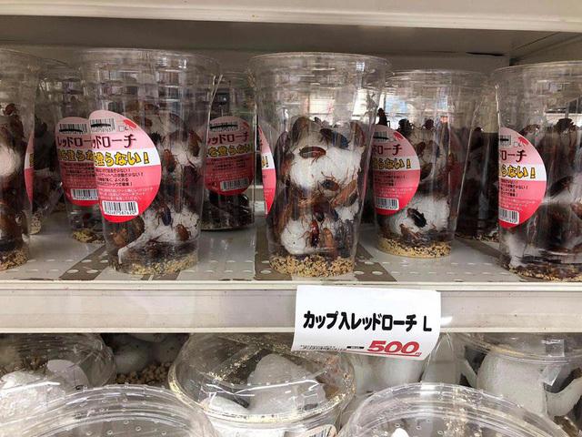 gián,gián đất,Nhật Bản,Nuôi thú cưng