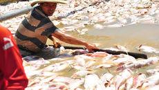 Hàng trăm tấn cá chết trắng sông, dân vớt không kịp
