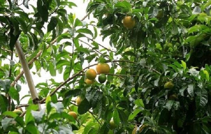 'Phát sốt' với giống vú sữa lạ: Trái chín vàng bóng, ra quả quanh năm