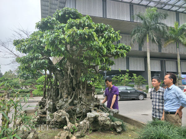Sanh kiểng 'phúc lộc thọ trường' giá chục tỷ chủ mới cho xuất vườn