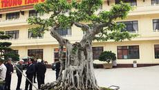 """Sửng sốt trước vẻ đẹp hiếm có của cây sanh """"ngai vàng"""""""