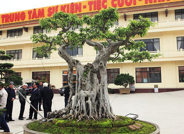 Sửng sốt trước vẻ đẹp hiếm có của cây sanh 'ngai vàng'