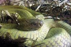 Bí ẩn rắn hổ mây miền Tây nặng tới vài trăm kg, chỉ nghe đã hãi...