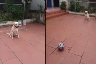 'Thủ môn' chó trổ tài bắt bóng điêu luyện khiến người xem 'ngả mũ' chào thua