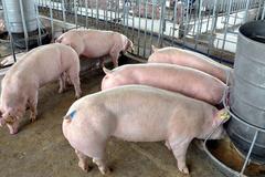 Thịt lợn tăng giá mạnh, nguy cơ lợn Trung Quốc ngược sang Việt Nam