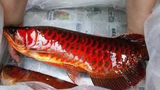 Bí ẩn cá huyết rồng vẩy đỏ như máu ở Biển Hồ