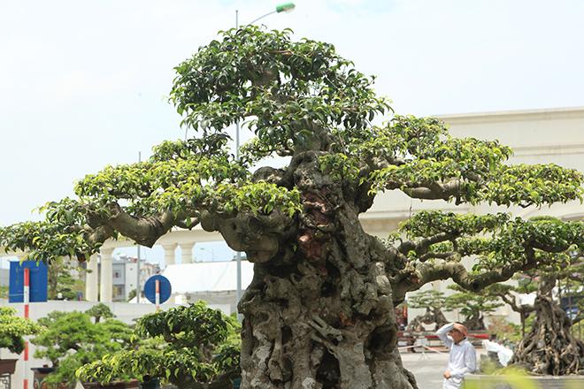 Ngọn cây sanh 'tiên lão giáng trần' gây sửng sốt giới chơi cây