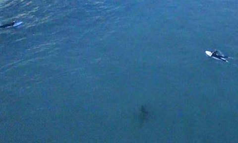 Cá mập trắng bám đuôi người đi bơi ở Australia