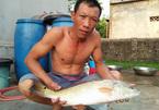 Bắt được cá 'lạ' vảy vàng óng 3,5kg nghi cá sủ vàng quý hiếm