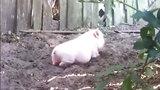 Chú lợn cầm tinh... chó