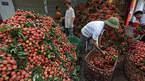 Hơn 80 doanh nghiệp Trung Quốc sang mua vải thiều