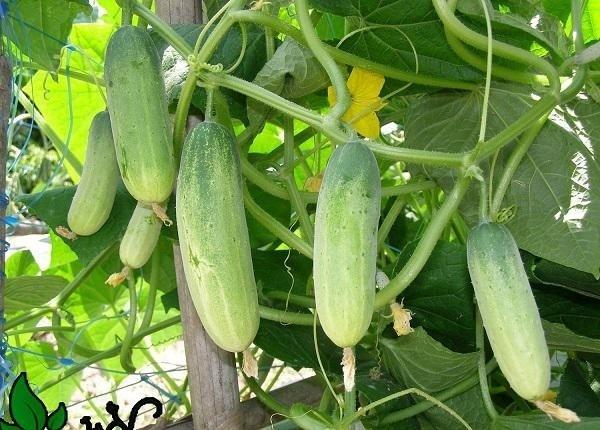 trồng rau sạch,trồng dưa chuột,trồng cây thùng xốp