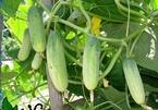 2 cách trồng dưa chuột sạch trong thùng xốp tại nhà cho quả sai lúc lỉu, ăn không hết
