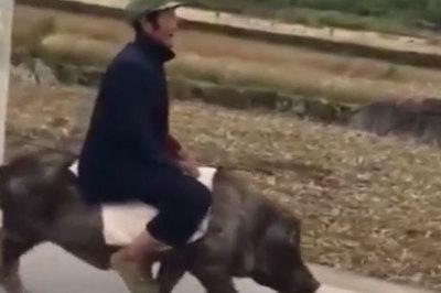 Người đàn ông cưỡi lợn như cưỡi ngựa