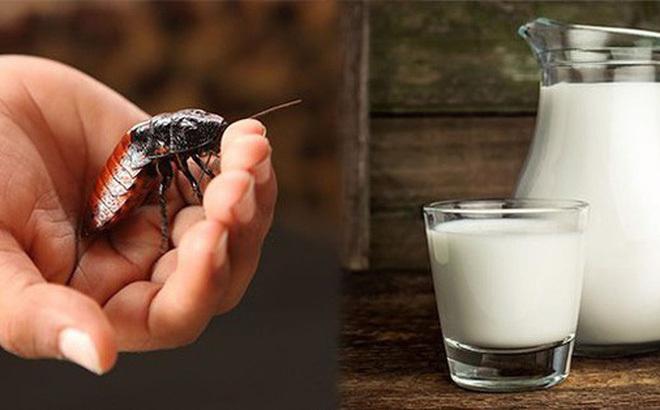 Khó tin: Uống cốc sữa gián bổ gấp nhiều lần sữa bò