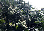 Chuyện hiếm có trên phố Hà Nội: Xoài trĩu quả khắp vỉa hè