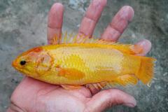 Hậu Giang: Bắt được cá rô vàng, anh nông dân chỉ để nuôi chứ không bán