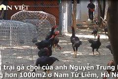 'Đột nhập' trang trại gà chọi tiền tỷ lớn nhất nhì Thủ đô