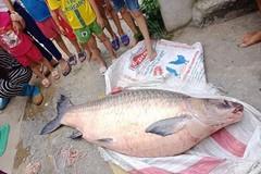 Bắt được cá trắm khổng lồ ở hồ Thác Bà