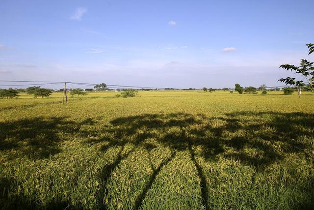 Đồng lúa chín vàng đẹp như tranh ở ngoại thành Hà Nội