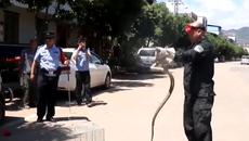 Suýt chết vì rắn hổ mang cực độc trú ngụ trên xe