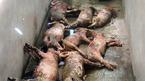 Hà Tĩnh: Đàn lợn bị đâm chết la liệt trong đêm