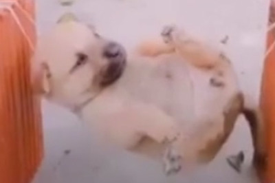 Khi cún con thích được ngồi võng đung đưa trong buổi trưa hè