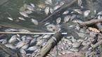 Cá chết thành mảng, bốc mùi hôi thối ở hồ điều hòa lớn nhất Hạ Long