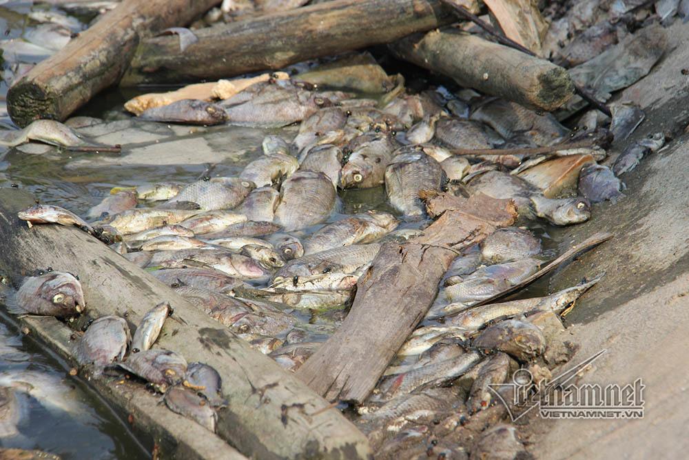 cá chết,Hạ Long,Quảng Ninh