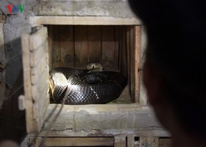 Phát hãi: Người đàn ông hàng ngày sống với đàn rắn hổ mang trăm con
