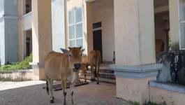 Trụ sở 33 tỷ bỏ hoang cho trâu bò tránh nắng