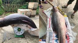 Cá măng sông Đà khổng lồ: Hàng 'xưa nay hiếm', đại gia vừa bữa nhậu