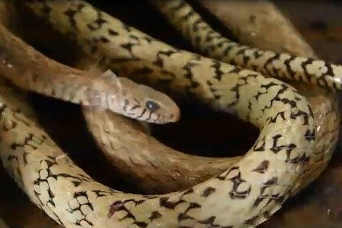 Kinh sợ mổ thịt rắn hổ 2 kg làm mồi nhậu