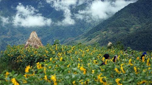 Thung lũng hoa Fansipan rực rỡ sắc hướng dương