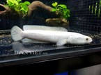 Nhà giàu Việt 'săn' cá lọc bạch kim giá tiền triệu về làm cảnh