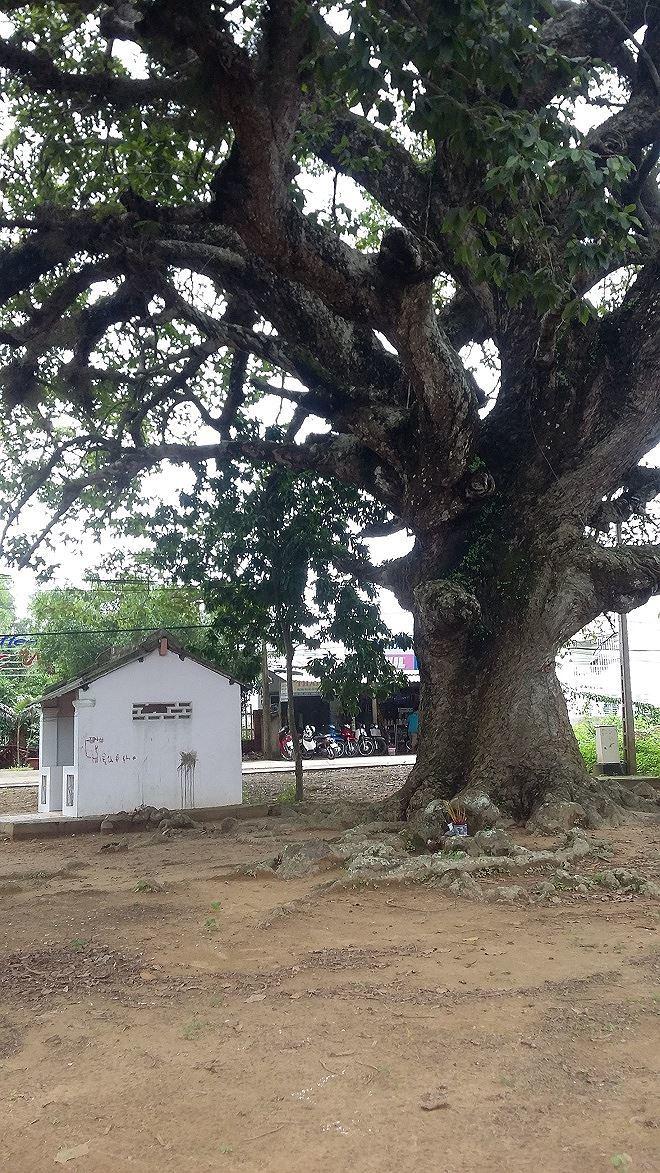 cây cổ thụ
