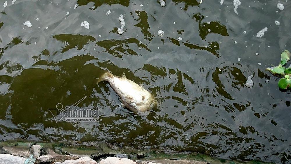 cá chết,Hồ Tây,Hà Nội