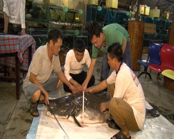 Bắt được cá lăng nặng trên 100kg: Kỷ lục chưa từng có