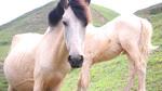 Bất ngờ đàn ngựa bạch 1.700 con lớn nhất Việt Nam