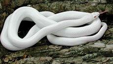 Con rắn hổ mang bạch tạng, trả giá gần 200 triệu không bán