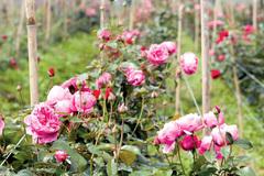 Cô gái Thái Bình trồng 20.000 gốc hồng ngoại: Chỉ để nấu nước làm đẹp