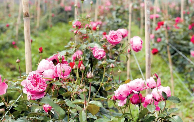 Kết quả hình ảnh cho vườn hoa hồng