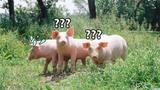 Người đàn bà quyền lực làm đàn lợn... câm nín