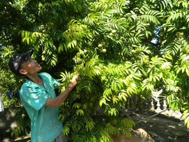 Ngôi làng có hơn 2.000 cây sấu hiếm có ở Việt Nam