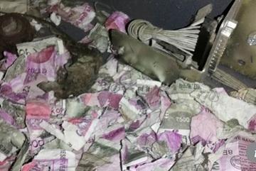 Chuột gặm nát hàng trăm triệu trong máy ATM