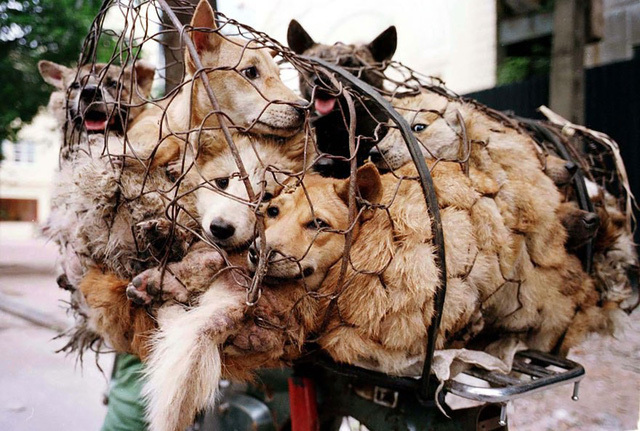 Bất chấp chỉ trích dữ dội, người dân vẫn quyết giữ phong tục ăn thịt chó