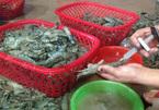 Tôm mập, đầu to bất thường ở Sầm Sơn: Được bơm tạp chất độc hại