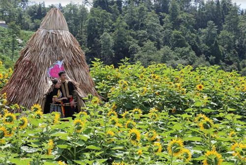 Hotgirl đọ sắc hoa hướng dương khổng lồ ở Sa Pa