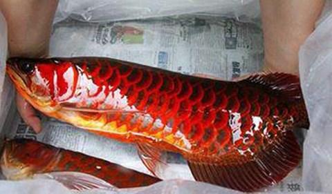 Huyền thoại cá huyết rồng vẩy đỏ như máu: Cuộc săn lùng của đại gia