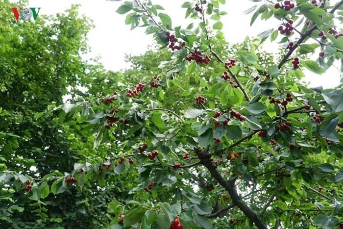 cherry,hoa quả ngoại